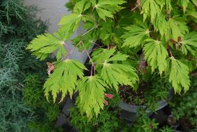 ハウチワカエデの園芸品種:舞孔雀 (Acer japonicum cv. maikjyaku)