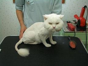 東京ラブリー動物病院でトリミングが終わった猫の画像です