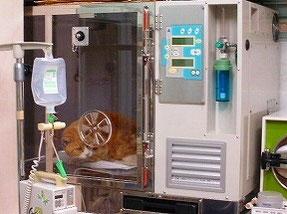 胸膜炎で呼吸困難を起こしている猫をICU装置に入れて治療をしているところです。高濃度の酸素吸入と温度コントロール(保温・冷却)が可能です。