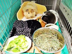 練馬区/東京ラブリー動物病院のペットホテルでお預かりしているモルモットです。