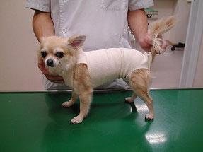 犬の不妊手術の後の画像です