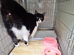 練馬区/東京ラブリー動物病院のペットホテルの猫です。