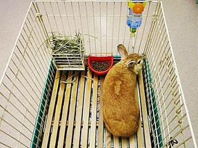 練馬区/東京ラブリー動物病院のペットホテルのウサギです。
