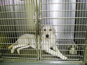 ペットホテルのラブラドール犬です。