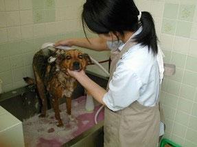 練馬区/東京ラブリー動物病院のトリミング中の柴犬の画像です