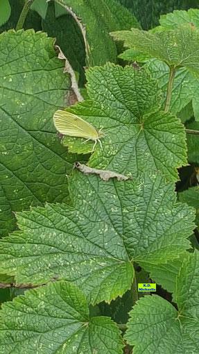 Blütenblätter einer weißen Herbst-Anemone / Japanischen Anemone mit Zitronenfalter aufgenommen am 29.08.2020 in Pattensen bei Hannover von K.D. Michaelis