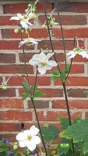 Blütenstände einer weißen Herbst-Anemone / Japanischen Anemone aufgenommen am 29.08.2020 in Pattensen bei Hannover von K.D. Michaelis