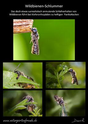 Wildbienen Schlaf Schlafverhalten Scherenbiene Chelostoma florisomne Osmia florisomne Verbeißen in Pflanzenteile wild bee solitary bee sleep behaviar sleeping pattern.