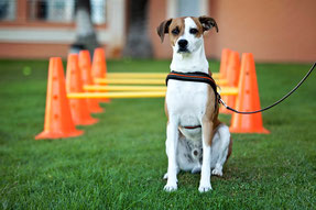 Courses of the Certificate Program in Canine Physical Rehabilitation