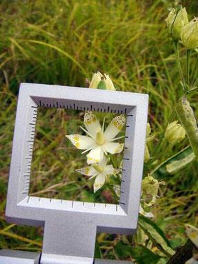 アケボノソウ 花の径は約15mm