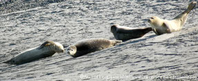 Réservez votre balade nature découverte des phoques en Baie de Somme©Découvrons la Baie de Somme
