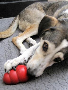 Hond, kong, dogsblog