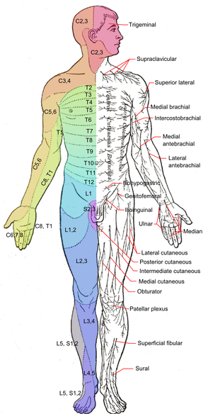 dermatomes of spinal roots, anterior view