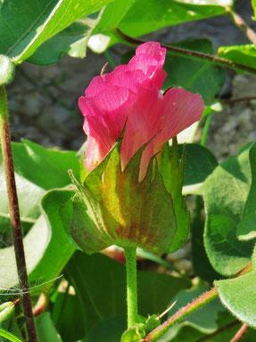Blüte der Baumwolle.