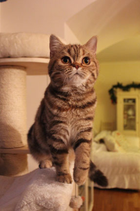 Shakira of Luxury Vita, Scottish Straight color chocolate tortie tabby blotched, nata il 05-06-2014