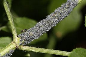 "Ameisen ""halten"" Blattläuse als Honigtaulieferanten, Foto: Helge May"