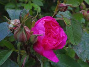 6月末から7月はバラが満開、公園は見ごたえあり