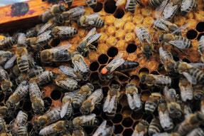 Markierte Bienenköniginnen sind im Volk schnell zu erkennen. (Foto: Pixaby; Abdruck kostenlos)