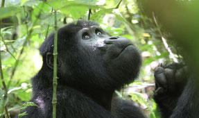 Un nuevo estudio demuestra que los turistas se acercan demasiado a los gorilas de montaña, exponiéndolos a enfermedades que pueden ser mortales. / Foto: Nancy J. Stevens