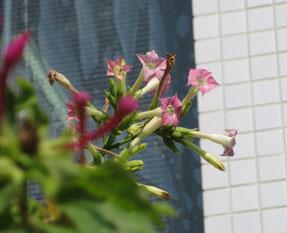 公民館に今年もタバコの花が咲いていました
