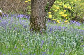 der romantische Rowallane Garden mit blühenden Blue Bells