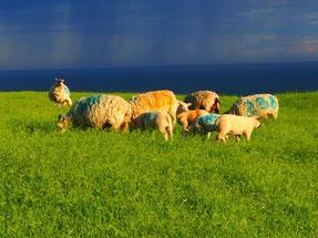 Schafe - ein Sinnbild für Ruhe und Harmonie