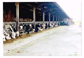 Alimentation des vaches 1999