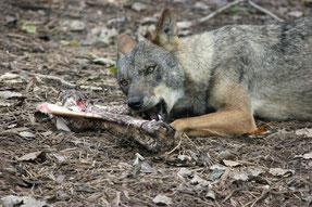 Iberischer Wolf mit Knochen (pixabay.com)