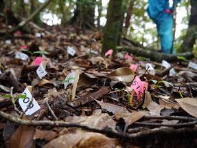林内で新たに生えてくる稚樹を調査している様子