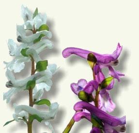 Flores de Cordialis
