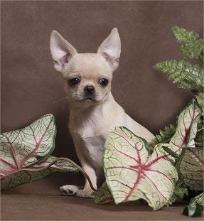 кремовый щенок чихуахуа