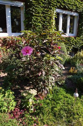 Hallo, im September 2012 sowie April 2016 habe ich bei Ihnen ( Gut Bissenbrook) jeweils eine Staude gekauft. Bei mir im Garten sind sie wunderschön. Auch Spaziergänger haben mich schon oft gefragt, was das denn für wunderschöne Pflanzen sind.T.Schwartz