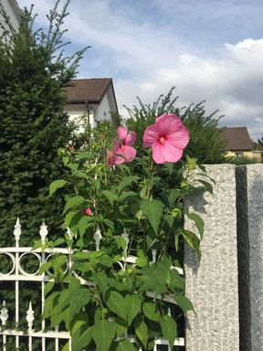 """Staudenhibiskus """"Mauvelous"""" von Frau Hirschhäuser bei Langen"""