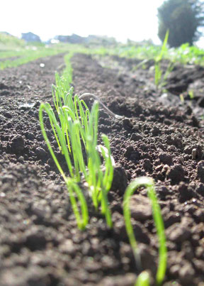 芽を出したばかりの長ネギと土の写真
