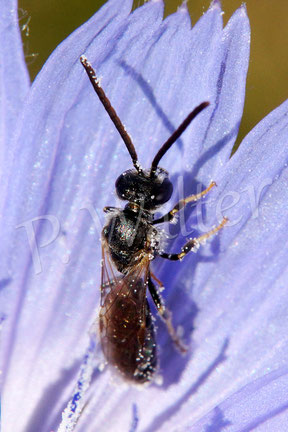 18.09.2016 : Wildbiene an Wegwarte