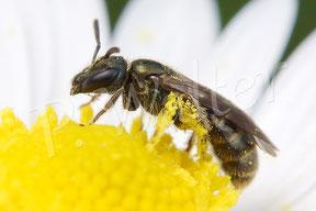18.04.2015 : wohl eine kleine Furchenbiene