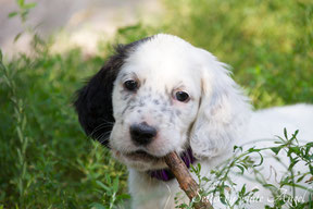 English Setter Welpe Kimberly | www.angel-setter.de