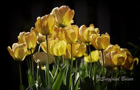 Tulpenbeet mit gelben Blüten. Siegfried Beiser Photography