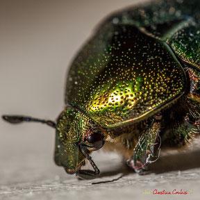 Cétoine dorée ou scarabé doré. (Cetonia aurata, Coléoptère Cetoniidae). Photographie : Christian Coulais