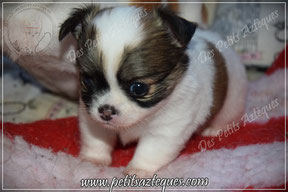 Chihuahua poil long