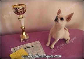 Chihuahua, Exposition canine, résultat et récompense