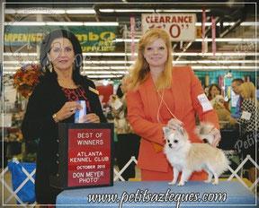 Chihuahua Grand champion - Elevage Des Petits Aztèques