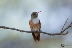 Amazilia amazilia - Amazilia Hummingbird - Rostbauchamazilie