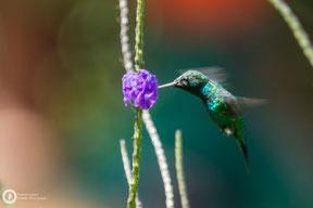 Amazilia saucerottei - Steely-vented Hummingbird - Stahlgrüne Amazilie