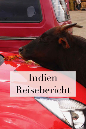 Reisebericht Indien Urlaub: Kühe im Land, Erfahrungen