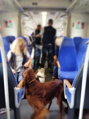 die Hunde vom Altenholzer Hundefreunde e.V. lernen Zug fahren