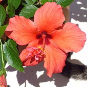 Ibiza Topf- und Schnittblumen - Hibiskus