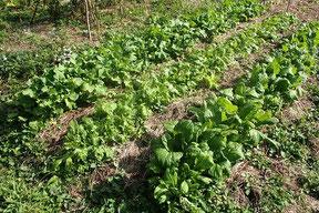 3年目の畑で育った菜花・小かぶ・ビタミン菜