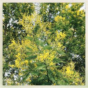 Branche de mimosa merveilleusement odorant
