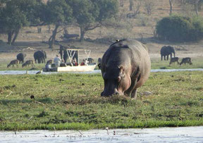 Nilpferd und weitere Tierarten